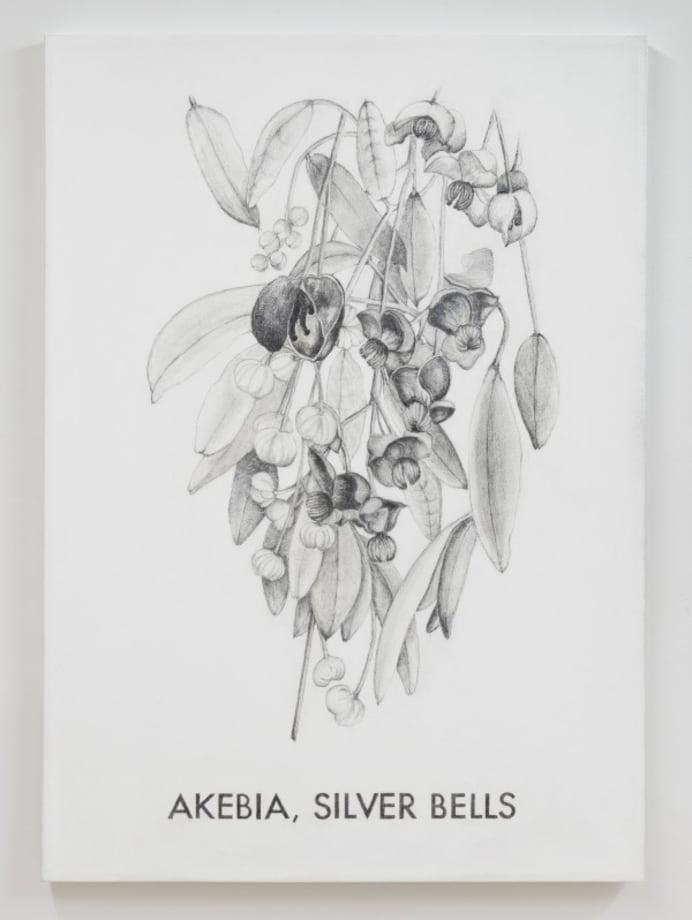 Akebia, Silver Bells by Vern Blosum